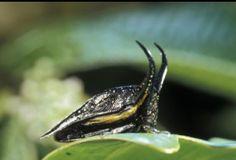 Heteronotus delineatus / 南アメリカ/新熱帯森林