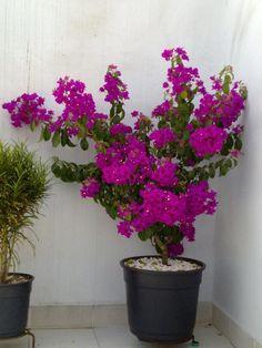Como plantar primavera - Buganvília - Plantar primavera em vaso