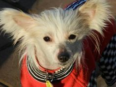 Dave is an adoptable Chinese Crested Dog Dog in Greenville, SC. Dave is a young (about3 - 4years old) hairy hairless Chinese Crested. He is a sweet, friendly boy who's been on 'bed rest' for a while...