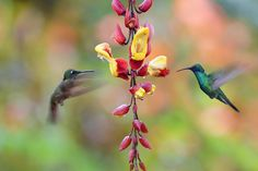 Hummingbirds and orchid