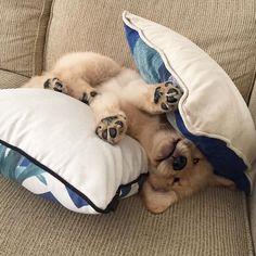 best Labrador stikers for Retriever Puppy, Dogs Golden Retriever, Golden Retrievers, Baby Dogs, Pet Dogs, Doggies, Cute Puppies, Dogs And Puppies, Dog Rates