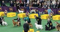The Westminster Kennel Club Annual All Breed Dog Show