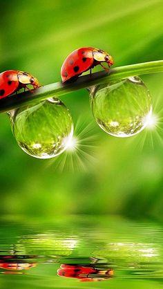 """Ladybirds and dewdrops reflected below ~ this sure does put on a colorful spring show!""          (Written By: © Lynn Chateau.)"