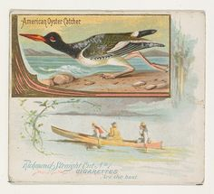 American Oyster Catcher, from the Game Birds series (N40) for Allen & Ginter Cigarettes