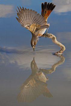 Fairy-wren:    bluethroat  (photo by alejandro jimenez)
