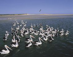 Pelicans of the Central Coast, NSW