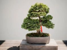Take a look at this guide to find out how to keep the peace between your cat and bonsai trees. Jade Bonsai, Juniper Bonsai, Bonsai Tree Types, Indoor Bonsai Tree, Bonsai Trees, Tree Arborist, Dwarf Trees, Japanese Home Decor, Japanese Interior