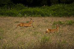 Roe Deer frollicking on Dartmoor