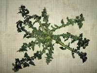 A run-down of edible wild greens in Greece. I Love You Mom, Edible Plants, Greek Recipes, Wordpress, Herbs, Drink, Bulletin Board, Greece, Food Ideas