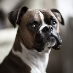 Portrait of Leo, the #Boxer / #dog #cute #funny #adorable #Boxers