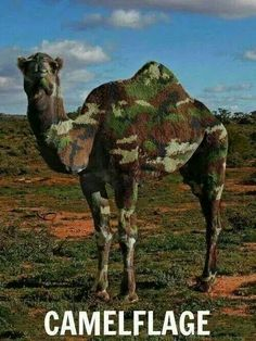 Omg!! Its a humped back camel!