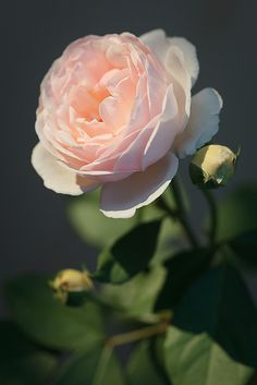 Jude the Obscure (David Austin rose) by ilgiardinauta, via Flickr