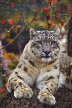 Snow Leopard!