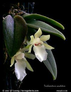 Picture/Photo: Trichocentrum candidum. A species orchid