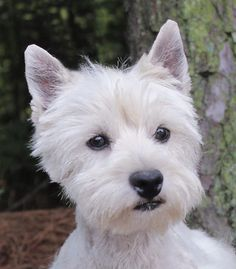 West Highland Puppies & Westies for Sale Westie Puppies For Sale, Dogs For Sale, Baby Puppies, Dogs And Puppies, Maltese Puppies, West Highland Terrier Puppy, Terrier Puppies, Puppy Socialization, Otters Cute