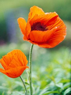 Poppy Get detailed growing information on this plant and hundreds more in BHG's Plant Encyclopedia.