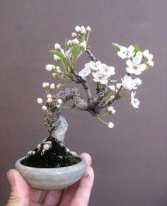 he word bonsai is most closely associated by most with the growing of miniature trees, and although this is somewhat accurate, there is a lot more to it than that. A bonsai is not a genetically overshadowed plant Bonsai Fruit Tree, Flowering Bonsai Tree, Bonsai Tree Care, Bonsai Tree Types, Indoor Bonsai Tree, Bonsai Plants, Bonsai Garden, Bonsai Flowers, Garden Trees