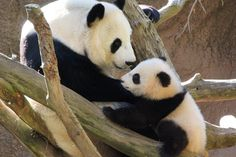 Baby Panda Meets Her Mom For The First Time ....tie into blue LLI lesson 64. The kids will love it. :)