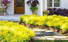Brilliant low-growing hedge plant with stunning year-round color! Add sunshine to your garden with the easy to grow Sunshine Ligustrum by Southern Living. Order today for fast delivery! Cheap Landscaping Ideas, Front Yard Landscaping, Outdoor Landscaping, Natural Landscaping, Florida Landscaping, Succulent Landscaping, Yellow Shrubs, Blue Plants, Sunshine Ligustrum