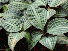 Геогенантус волнистый - Geogenanthus undatus, геогенантус фото