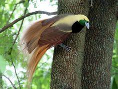 Raggiana Bird of Paradise [male]