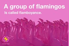 A group of flamingos is called flamboyance