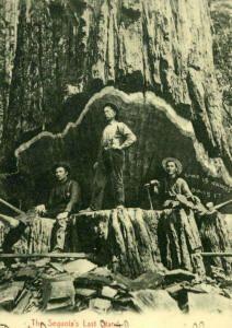 Humboldt Co., California ... Redwood State Park Vintage Photo #Redwood #Logging #Vintage