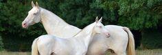 ATF, France, Akhal-teke horses - Gissarg(Giaurs - Gissa)