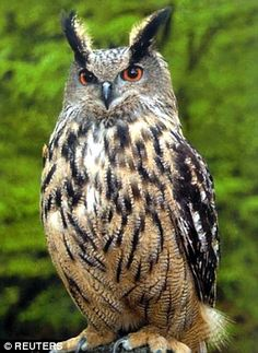 They will grow into the far more menacing looking eagle owl, which is one of the…