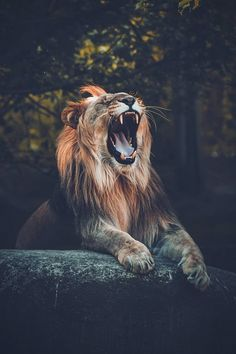 Lion 'couchant', in front of cave, roaring Lion Photography, Adventure Photography, Infinity Photography, Animals Images, Animals And Pets, Cute Animals, Mundo Animal, My Animal, Beautiful Cats