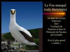 """Les oiseaux """"fous"""" 22"""