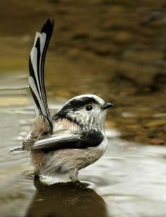 Long-Tailed Tit  ♥ ♥  www.paintingyouwithwords.com