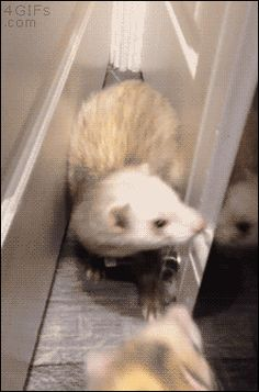 Rescue Kitten Adopted By Five Ferrets Now Thinks Shes A Ferret - Rescued kitten adopted by ferrets now thinks shes a ferret too