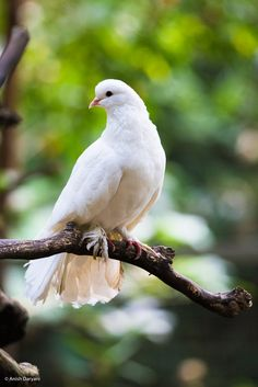 Fantailed Dove - Peace to the World! by Anish Daryani - Photo 281396425 / Dove Images, Dove Pictures, Nature Animals, Animals And Pets, Cute Animals, Ocean Photography, Wildlife Photography, Animal Paintings, Animal Drawings