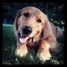 Carlin my golden retriever <3