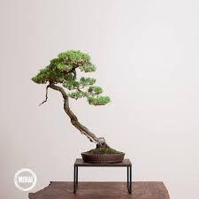Image result for mira kendal bonsai