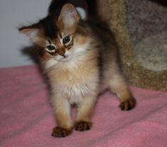 kahali | Somali Kittens