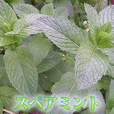 ステビア栽培で農作物が元氣で美味しい!  癒しのハーブ類爽やかな香りがモヒートにもソーダにも♪茎ごとスペアミント30g【楽天市場】