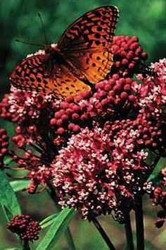 Red Milkweed and butterfly