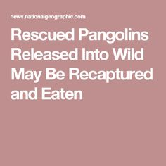 Rescued Pangolins Released Into Wild May Be Recaptured and Eaten