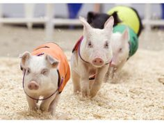 Hamshire pigs gallop to the finish and to the food trough as they prepare for the All Alaskan Pig races at the OC Fair. PHOTO BY MINDY SCHAUER, THE ORANGE COUNTY REGISTER