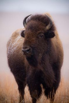 Majestic American Bison, Meant the prairie tribes would eat, be warm, have a home, have shoes, etc, etc.