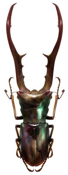 Cyclommatus metallifer finae