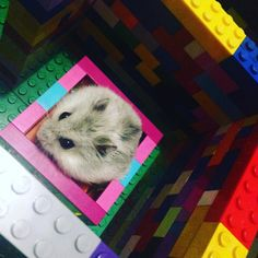 Ham just chilling in the Lego maze #hammy #hammys #hamster #hamsters #hammygram #hamstergram #hamsterlove #hamstersofinstagram #welovehamsters #hamstersoninstagram #hamsterlife #dwarfhamster #pet #petstagram #petsofinstagram #lego #toy #buildingbricks #legobricks #legostagram #legophotography #legogram #legomania #legophoto #maze #playtime by cheese.the.fat.hamster