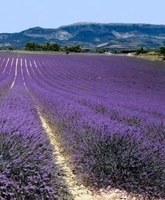 fields of French Lavender