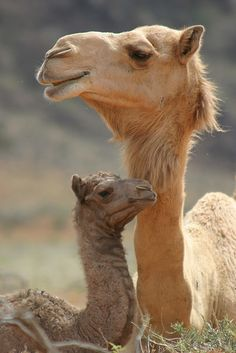 Mom and baby camel