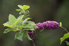 A Beauty Berry plant. See more pics from the Yamato Scrub at https://flic.kr/s/aHsjYLZPg5. Like it? Tip It! http://smalagodi.tip.me www.onename.io/malagodi