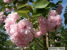 "Prunus serralata ""KWANZAN"" blossom Prunus, Garden Ideas, Purple, Flowers, Peach, Landscaping Ideas, Backyard Ideas, Royal Icing Flowers, Flower"