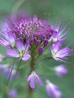 Global Gallery Nature Photographs Rocky Mountain Bee Plant Flower, Great Sand Dunes National Monument, Colorado Photographic Print on Wrapped Canva. Amazing Flowers, My Flower, Purple Flowers, Wild Flowers, Beautiful Flowers, Flower Bokeh, Beautiful Things, Plantar, Beautiful Gardens