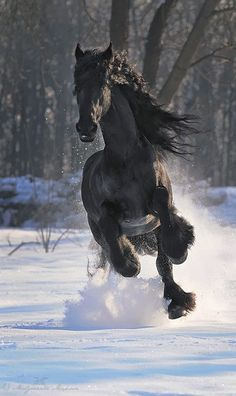 Friesian, running in the snow!
